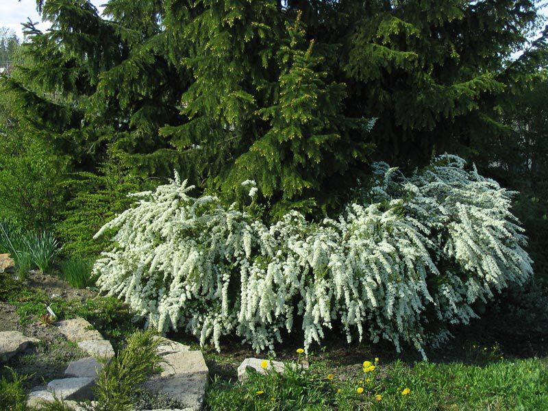 декоративные цветущие кустарники. фото красиво-цветущие садовые деревья и кустарники - цветы Спирея.