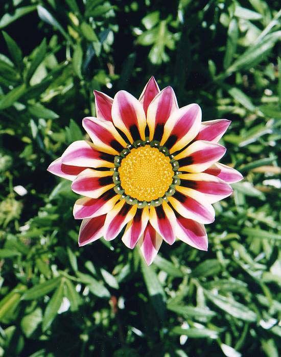 Декоративные садовые цветы бордовые
