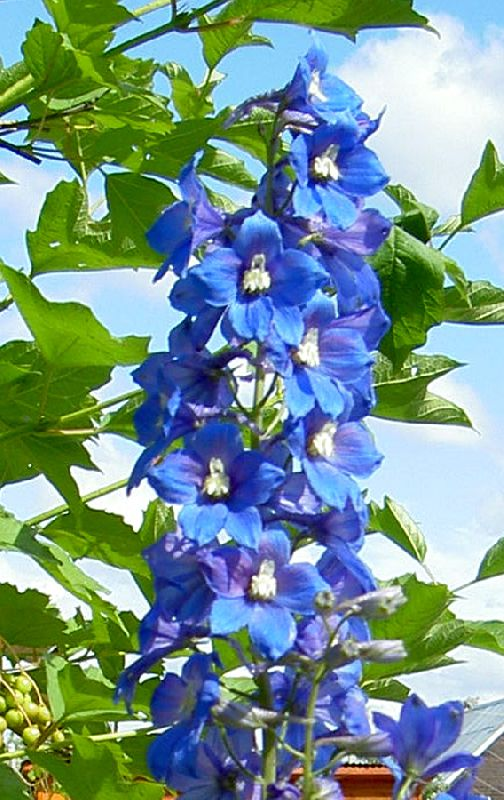 Цветы синие дельфиниум фото