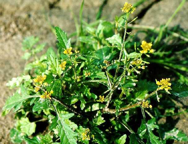 Цветы желтые жерушник фото жерушник