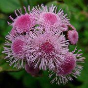 декоративные садовые цветы розовые Агератум фото, описание, выращивание и посадка, уход и полив