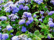 декоративные садовые цветы голубые Агератум фото, описание, выращивание и посадка, уход и полив