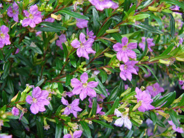 Декоративные садовые цветы сиреневые