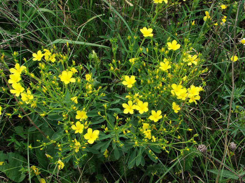 Декоративные садовые цветы желтые лен