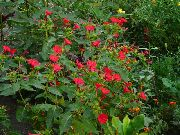 Цветы красные мирабилис ялапа ночная