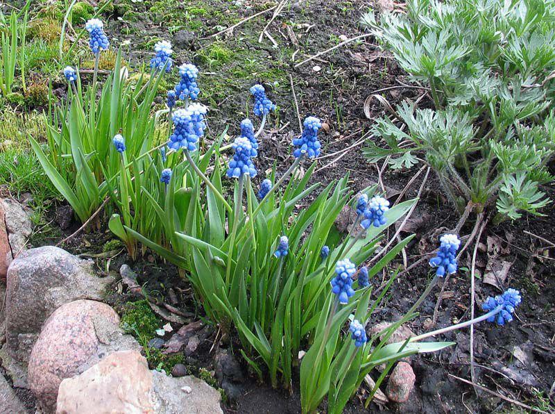 Цветы синие мускари фото