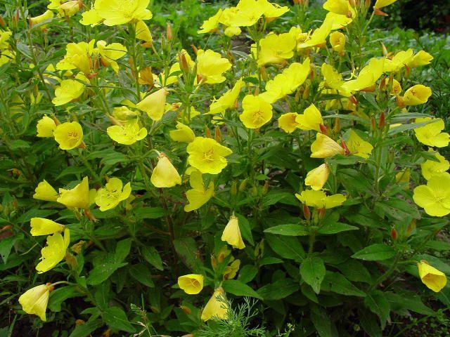 Цветы желтые энотера кустарниковая