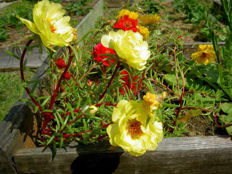 Декоративные садовые цветы желтые