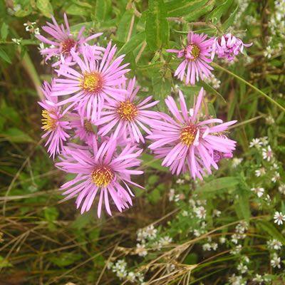 розовые садовые цветы Астра новоанглийская фото, выращивание, посадка и уход, купить Астра новоанглийская семена.