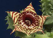домашние растения Гуэрния суккулент фото, выращивание, посадка и уход, купить Гуэрния суккулент семена, коричневые.