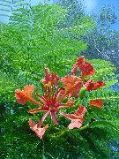Домашние цветы делоникс королевский