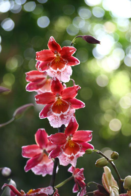 Вайлстекеара принадлежит семейству орхидей.  Растение имеет широкие листья длиной до 50 см, цветы до 5-7 см...