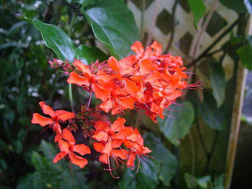 А клеродендрум душистый (Cl. fragrans) он же филлипинский (Cl. philippinum) - кустарником.