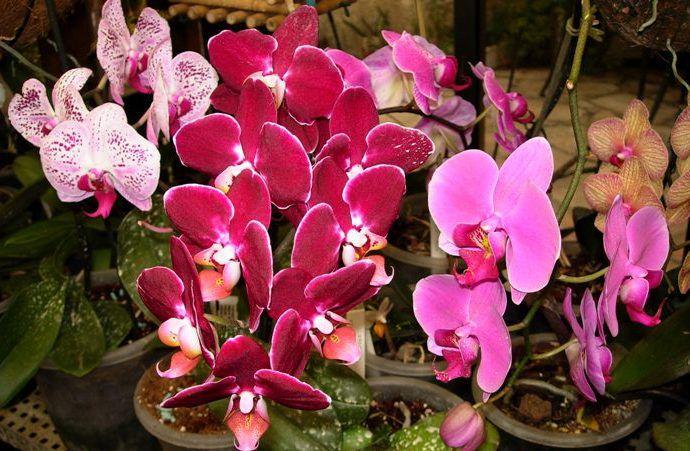 Цветущий комнатный цветок в. Купить цветы оптом или мелким оптом.